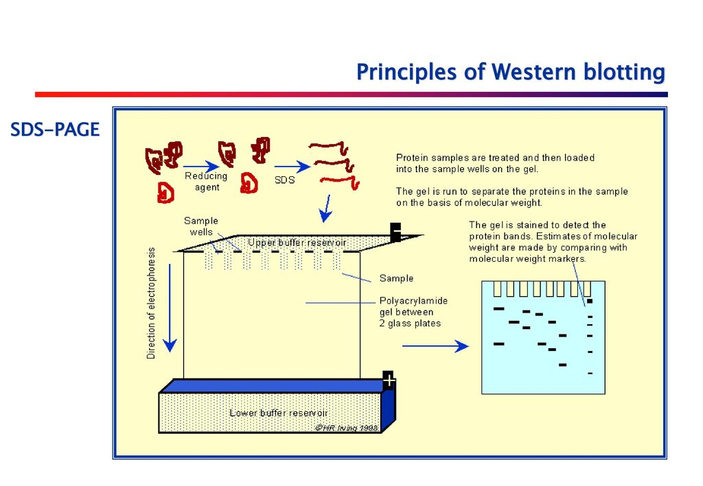 western blot principles and applications